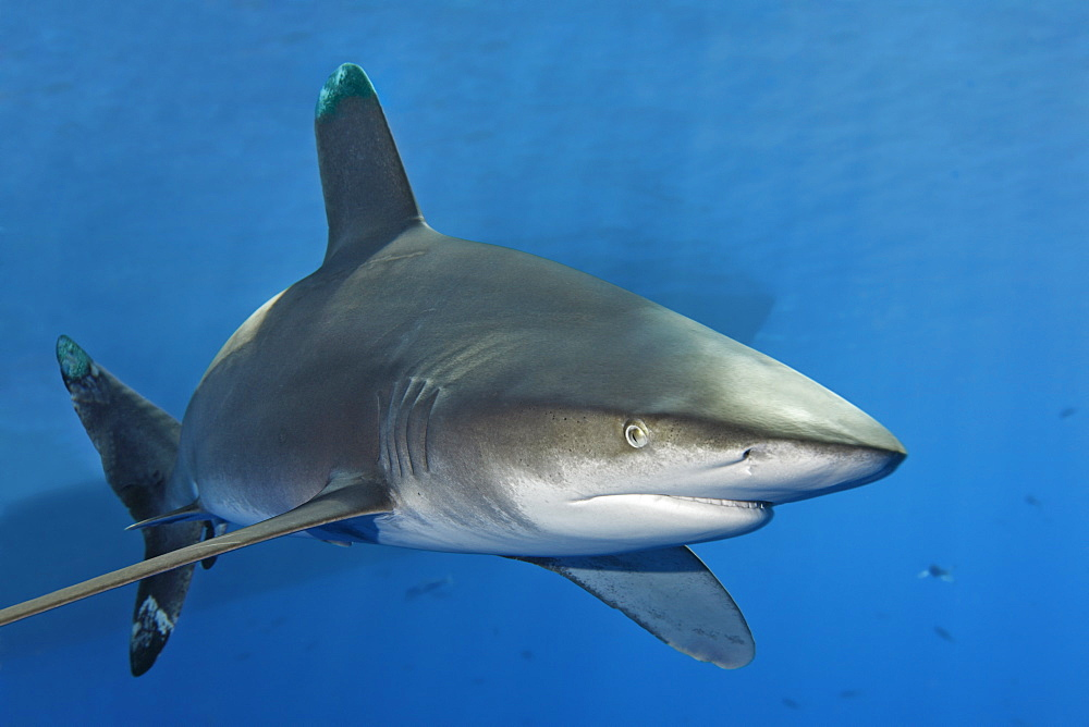 Oceanic Whitetip Shark (Carcharhinus longimanus) in blue water, shadow of boat in the back, Great Barrier Reef, UNESCO World Heritage Site, Cairns, Queensland, Australia, Pacific