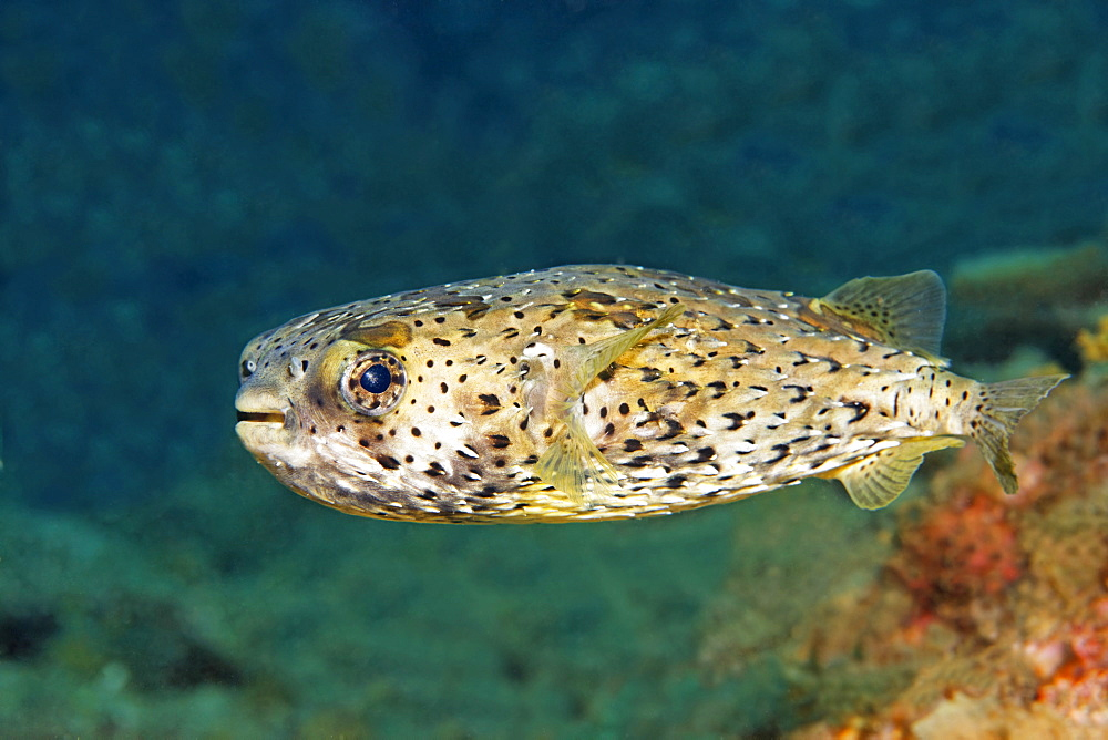 Porcupine puffer fish (Diodon holacanthus) swimming over a reef, San Benedicto Island, near Socorro, Revillagigedo Islands, archipelago, Mexico, eastern Pacific