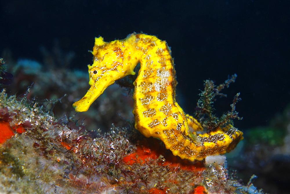 Slender seahorse (Hippocampus reidi) sitting on substrate, Ponta de Sao Vicente, Isabella Island, Albemarle, Galapagos Islands, a UNESCO World Natural Heritage Site, Ecuador, Pacific Ocean