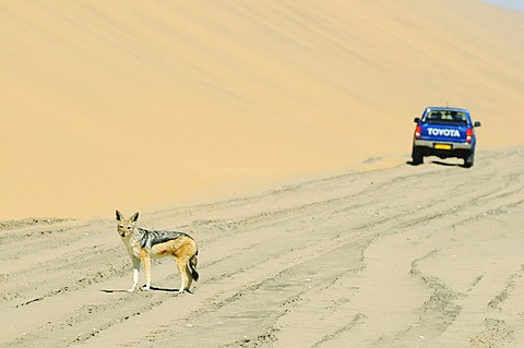 Off-road vehicle and a Black-backed jackal (Canis mesomelas) near Sandwich Harbour, Namib Naukluft National Park, part of the Namibian Skeleton Coast National Park, Skeleton Coast, Namib Desert, Namibia, Africa
