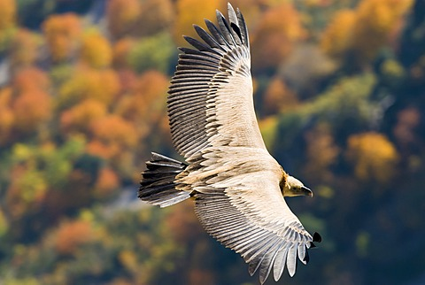 Griffon Vulture (Gyps fulvus), Gorges du Verdon, France, Europe