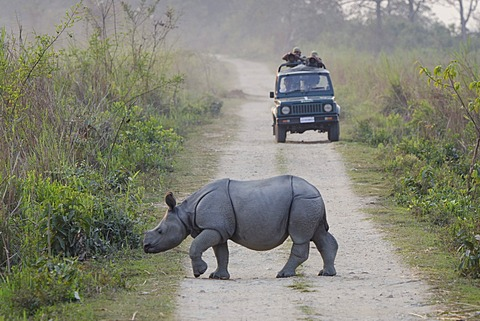 Rhinoceros (Rhinocerotidae), young crossing a dirt track, Kaziranga National Park, Assam, northeast India, India, Asia