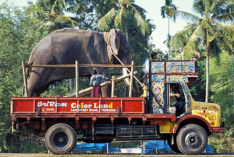 Elephant loaded on a truck, Arattupuzha-Pooram festival, near Thrissur, Kerala, southern India, India, Asia
