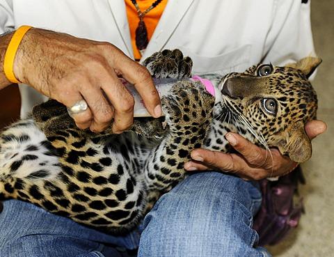 Panther (Panthera pardus) cub with milk bottle, Zoo, Bangkok, Thailand, Asia
