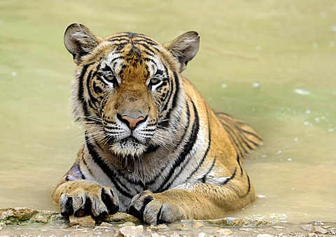 Tiger (Panthera tigris) in water, zoo, Bangkok, Thailand, Asia