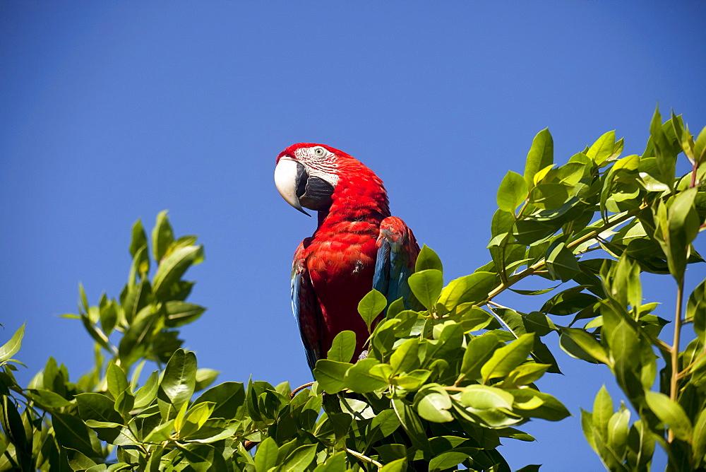 Scarlet Macaw (Ara macao) in a tree, Bocas del Toro, Panama, Central America