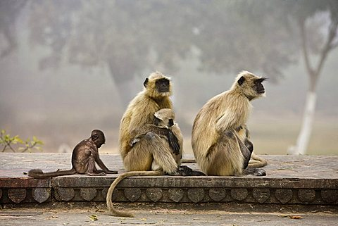Northern Plains Gray Langurs (Semnopithecus entellus), mature and young, North India, India, Asia