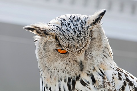 Snowy Owl (Nyctea scandiaca), Foto-Siegel photo exhibition, Erfurt, Thuringia, Germany, Europe