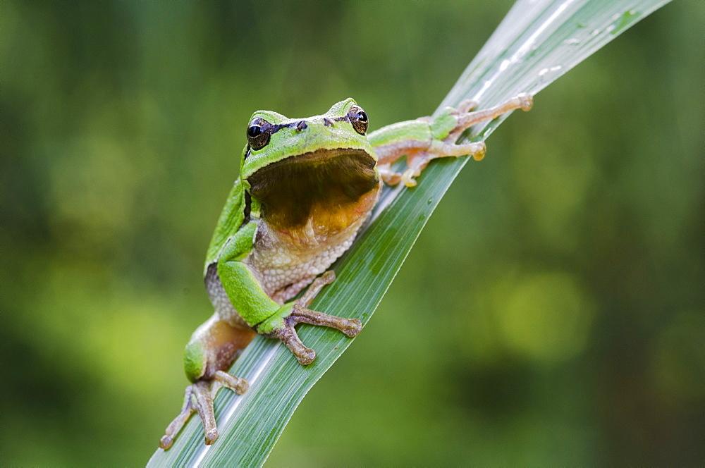 European tree frog (Hyla arborea), Riedlingsdorf, Burgenland, Austria, Europe