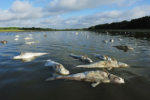 Fish carcasses in lake during drought, Dinero, Lake Corpus Christi, South Texas, USA - 832-372932