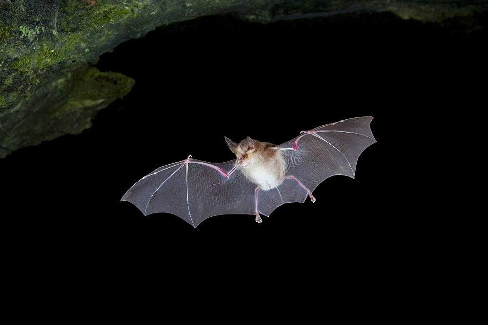 Mehely's horseshoe bat (Rhinolophus mehelyi) in flight, Sardinia island, Italy, Europe