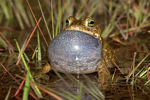 Natterjack toad (Bufo calamita), male calling, Thuringia, Germany, Europe
