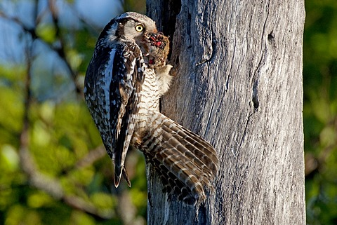 Northern hawk owl (Surnia ulula), female with prey perched at the nesting hole, Finland, Europe