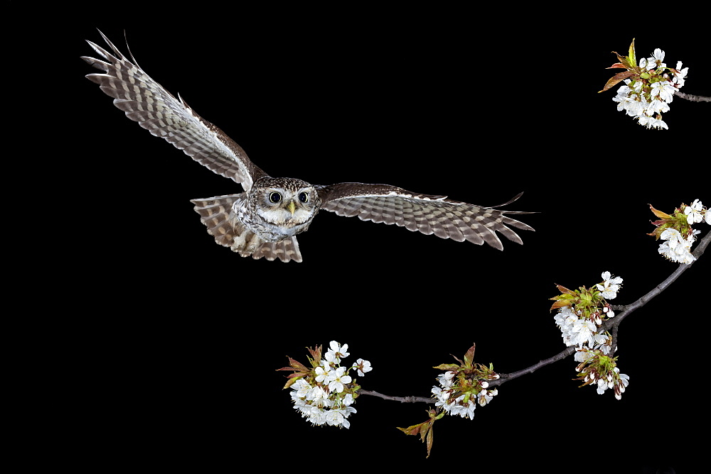 Little owl (Athene noctua) in flight, Thuringia, Germany, Europe