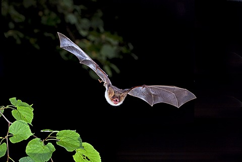 Greater mouse-eared bat (Myotis myotis) in flight, Thuringia, Germany, Europe