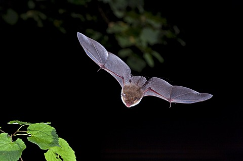 Natterer's Bat (Myotis nattereri) in flight, Thuringia, Germany, Europe