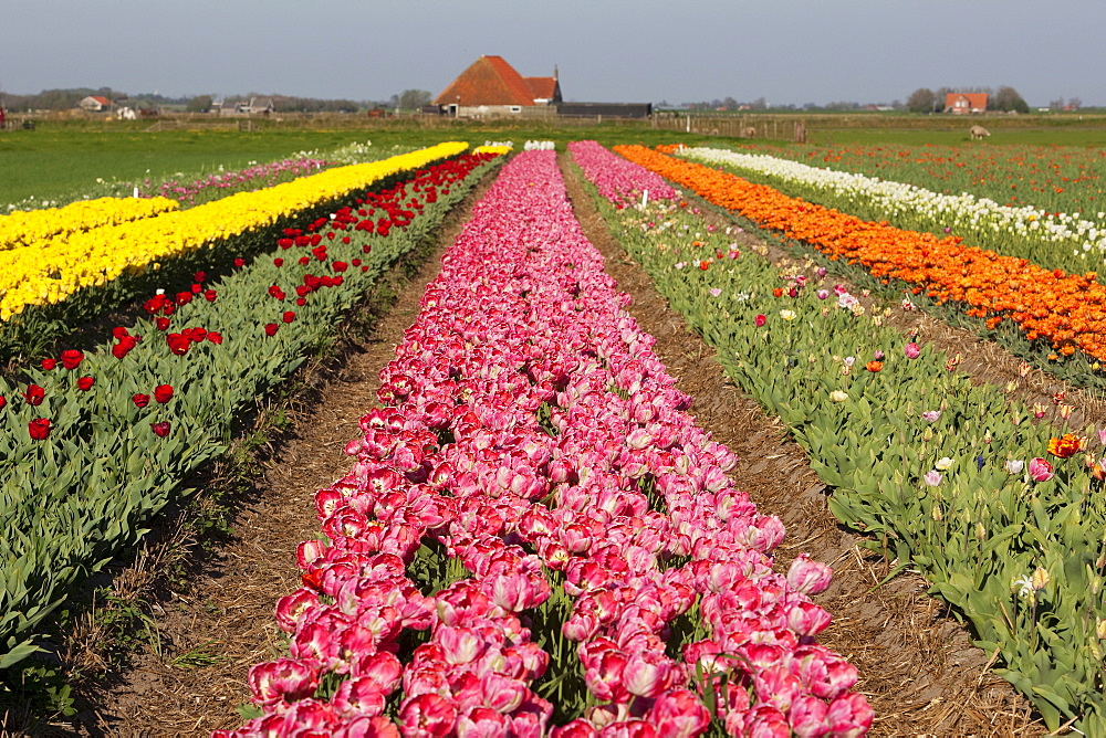 Field of tulips (Tulipa), Texel, The Netherlands, Europe