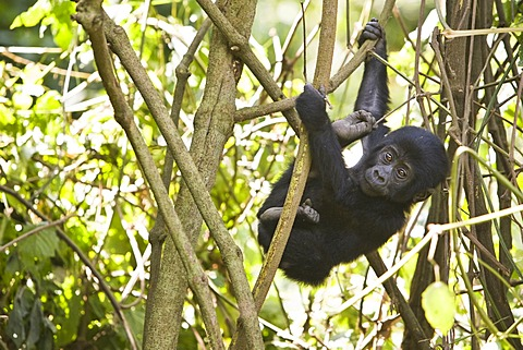 "Habituated group of mountain gorillas (Gorilla beringei beringei), Bwindi Impenetrable Forest National Park, being studied by scientists from the Max Planck Institute for Evolutionary Anthropology Leipzig, image showing ""Kikyokyo"", female baby, born Augus"
