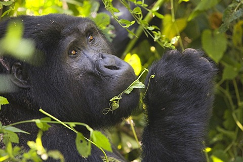 "Habituated group of mountain gorillas (Gorilla beringei beringei), Bwindi Impenetrable Forest National Park, being studied by scientists from the Max Planck Institute for Evolutionary Anthropology Leipzig, image showing ""Marembo"", oldest blackback of the"