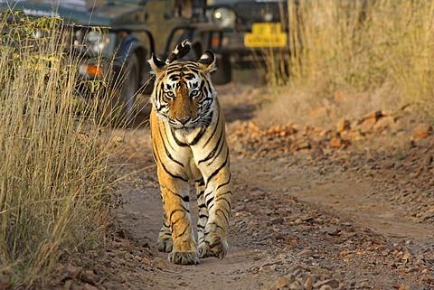 Tiger (Panthera tigris), walking in front of tourist vehicles on a safari, Ranthambore National Park, Rajasthan, India, Asia