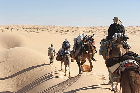 Sustainable tourism, camel trekking, camels, dromedaries (Camelus dromedarius), sand dunes, Sahara desert between Douz and Ksar Ghilane, Southern Tunisia, Tunisia, Maghreb, North Africa, Africa