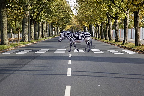 A zebra walking on a zebra crossing