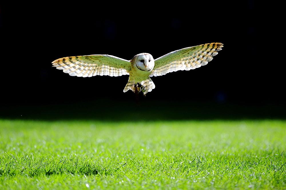 Barn Owl (Tyto alba) approaching, in flight