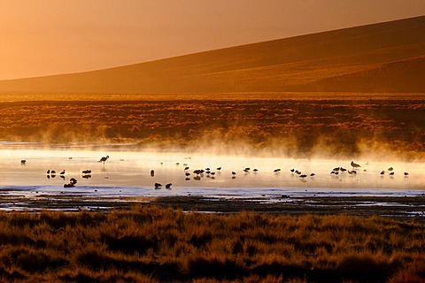 Hot springs with Flamingos (Phoenicopteriformes, Phoenicopteridae) in the steaming water, Uyuni, Bolivia, South America
