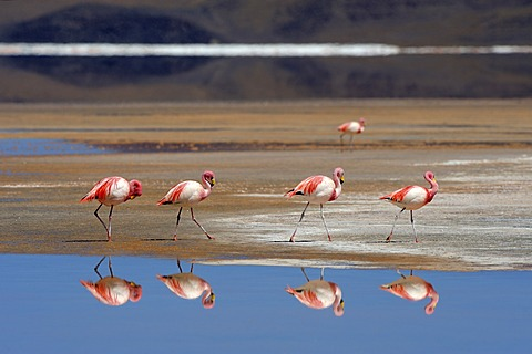 Jame's Flamingos (Phoenicoparrus jamesi) reflected in water, Laguna Colorada, Uyuni, Bolivia, South America