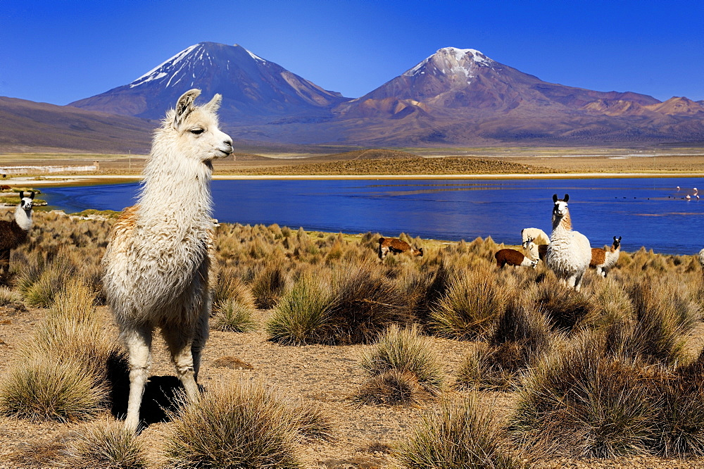 Llamas (Llama) and a lagoon in front of Parinacotta and Pinarappe volcanoes, Sajama National Park, La Paz, Bolivia, South America
