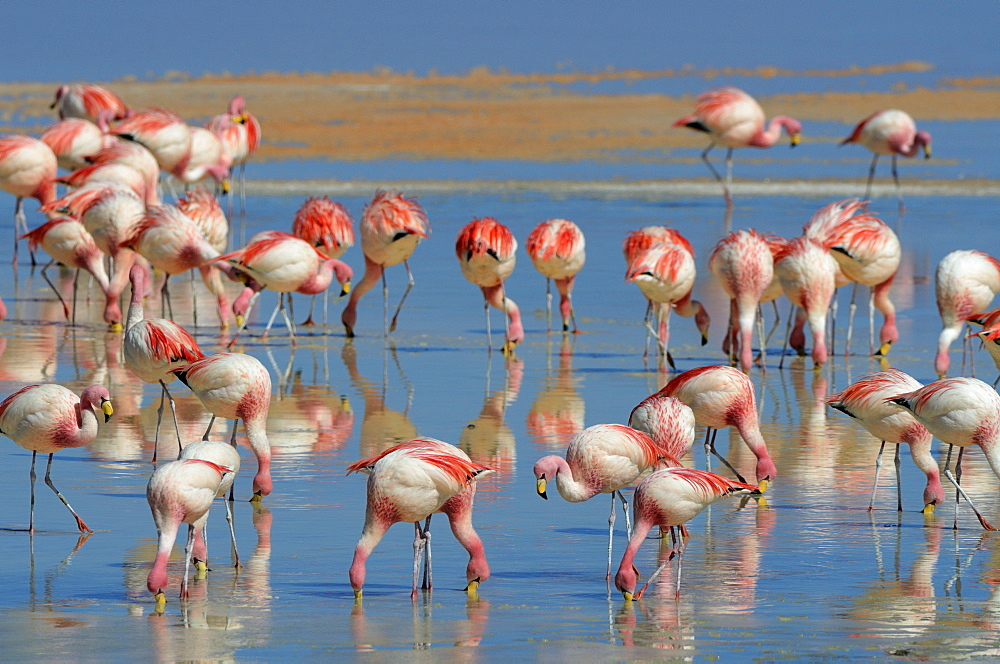 Jame's Flamingos (Phoenicoparrus jamesi) in red water, Laguna Colorada, Uyuni, Bolivia, South America