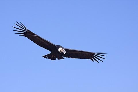 Condor (Cathartidae) in flight, Colca Canyon, Peru, South America