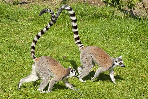 Ring-tailed lemurs (Lemur catta), Serengeti Park zoo and leisure park, Hodenhagen, Lower Saxony, Germany, Europe