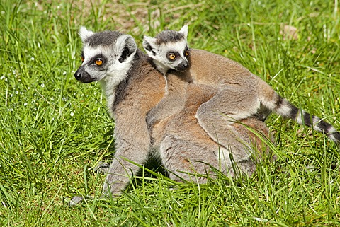 Ring-tailed lemurs (Lemur catta), adult and young, Serengeti Park zoo and leisure park, Hodenhagen, Lower Saxony, Germany, Europe