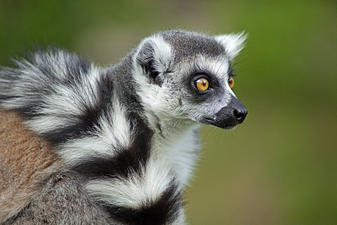 Ring-tailed lemur (Lemur catta), Serengeti Park, Hodenhagen, Lower Saxony, Germany, Europe