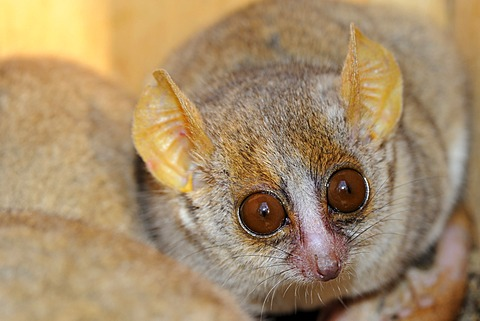 Gray Mouse Lemur (Microcebus murinus), smallest lemur in the world