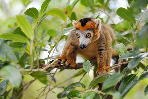 Crowned Lemur (Eulemur coronatus), Madagascar, Africa