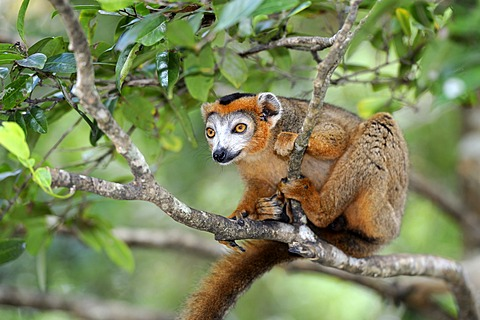 Crowned Lemur (Eulemur coronatus), sitting on a branch, Madagascar, Africa