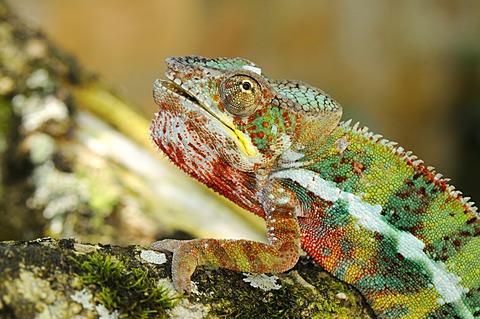 Panther Chameleons (Furcifer pardalis), male, Madagascar, Africa