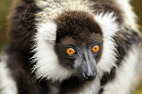 Portrait, Black-and-white Ruffed Lemur (Varecia variegata), Madagascar, Africa - 832-373537