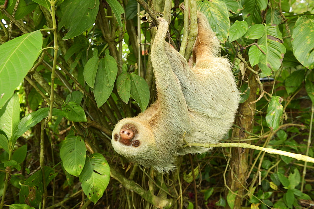 Hoffmann's two-toed sloth (Choloepus hoffmanni), hanging upside down in a tree, La Fortuna, Costa Rica, Central America - 832-373549