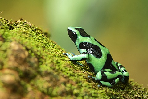 Green and black poison dart frog (Dendrobates auratus), Tenorio Volcano National Park, Costa Rica, Central America