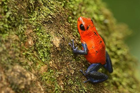 Strawberry Poison Frog (Dendrobates pumilio), Tenorio Volcano National Park, Costa Rica, Central America