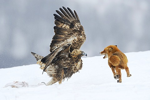 Golden Eagle (Aquila chrysaetos) fighting with a red fox (Vulpes vulpes) over a carcass, Sinite Kamani Nature Park, Bulgaria, Europe