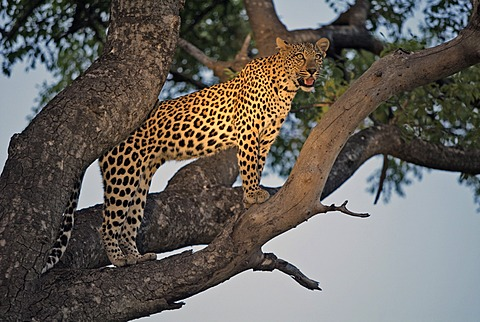 Leopard (Panthera pardus), female, on a tree, Sabi Sand Game Reserve, South Africa