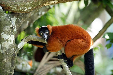 Red Ruffed Lemur (Varecia rubra), adult in a tree, Madagascar, Africa