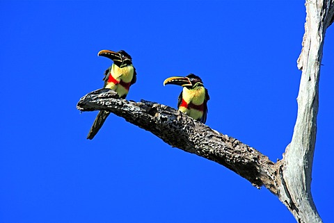 Chestnut-eared Aracari (Pteroglossus castanotis), adult birds on a branch, Pantanal, Brazil, South America - 832-373631