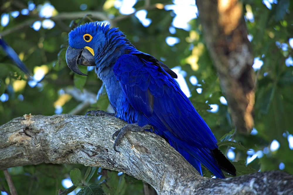 Hyacinth Macaw (Anodorhynchus hyacinthinus), adult bird in a tree, Pantanal, Brazil, South America