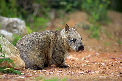 Southern Hairy-nosed Wombat (Lasiorhinus latifrons), adult, Australia