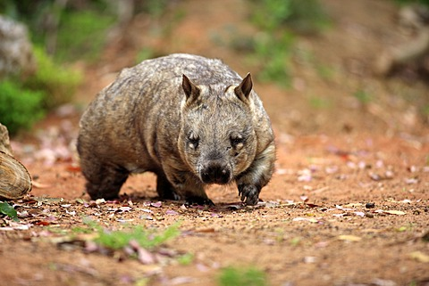 Southern Hairy-nosed Wombat (Lasiorhinus latifrons), adult, walking, Australia